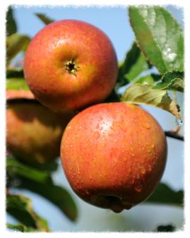 Apples on Moat Farm Suffolk