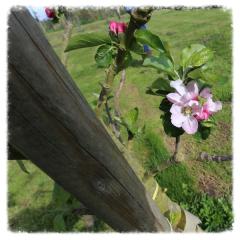 Apple Blossom Moat Farm Kenton Suffolk