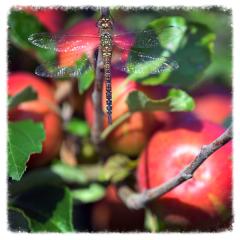 Apples at Moat Farm Kenton Suffolk with dragonfly